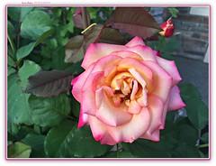 every garden needs a rose! (MEA Images) Tags: rose roses gardens parks blooms flora nature iphone
