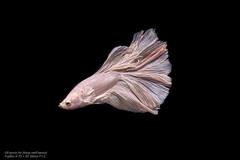 White (Francis.Ho) Tags: xt2 betta fauna siamese fightingfish marco closeup blossoming pet bettasplendens bettafish underwater abstract fin tail thailand movement motion visarute luxury elegant monochrome
