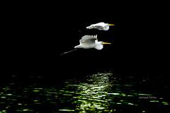 Tandem Flight #storks #fly #wildlife #birding #reflection #birds #animals (Maringan Tobing) Tags: animals fly birds storks birding wildlife reflection