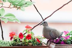 A friendly Visitor (Thomas Listl) Tags: thomaslistl color bird nature flowers flora fauna pigeon leaves budapest hungary 100mm animalportrait window