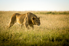 Stalk mode | Lion | Panthera pardus pardus (Bertie Allison) Tags: lion panthera leo africa nature wildlife hunt sunset light canon