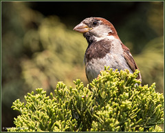 House Sparrow 1035 (maguire33@verizon.net) Tags: housesparrow passerdomesticus sparrow bird male wildlife