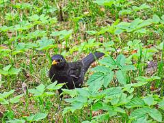 Amsel (www.nbfotos.de) Tags: amsel schwarzdrossel blackbird vogel bird