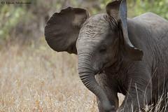 Wild Thing (leendert3) Tags: leonmolenaar southafrica krugernationalpark wildlife nature mammal africanelephant ngc npc coth5