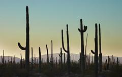 Saguaros (BongoInc) Tags: arizona sonorandesert organpipecactusnationalmonument saguarocactus desertlandscape