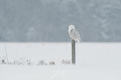 Un peu de fraîcheur (jlf_photo) Tags: harfang des neiges snowy owl quebec canada