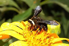 Xylocopa sp. ♀ (Carpenter Bee) - Entebbe, Uganda (Nick Dean1) Tags: animalia arthropoda arthropod hexapoda hexapod insect insecta hymenoptera xylocopa carpenterbee bee uganda entebbe