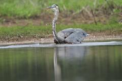 Did I get em? (Bird-guy) Tags: greatblueheron heron ardeaherodias lakepeachtree peachtreecitygeorgia