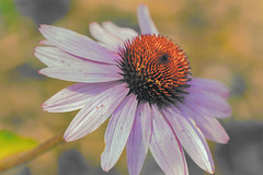 Final days (Karon Elliott Edleson) Tags: coneflower flower macro petals pastels 7dwf mondaysanythinggoes canon 100mm