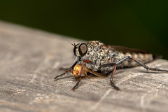 DSF_20811.jpg (christopher_west) Tags: macro 105mmf28 tc14e robberfly fruitfly