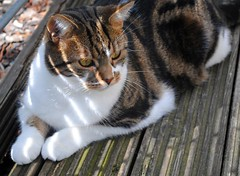 Brian out to play (zawtowers) Tags: brian cat cute feline kitty adorable resting relaxed playing outside front decking sunny warm shadow look out squirrel tabby alert poised