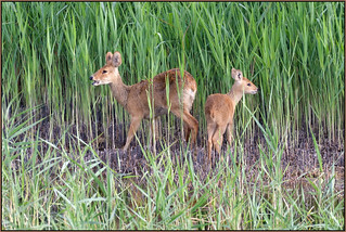 Chinese Water Deer (image 1 of 2)