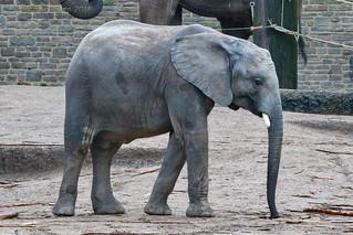 Afrikanischer Elefant - African elephant