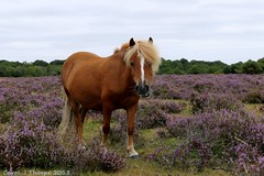 Pony and Heather (CJT29(No longer Pro)) Tags: newforest hampshire cjt29 newforestpony heather heathland cadmanspool pony