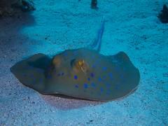 P1-008574 (charlesvanlangeveld) Tags: bluespottedstingray taeniuralymma stinray redsea marsaalam egypt fish portraits underwater rog scubadiving portghalib