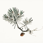 Pine by Kōno Bairei (1844-1895). Digitally enhanced from our own original 1913 edition of Barei Gakan. thumbnail
