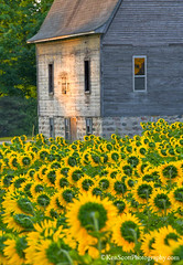 'Moon'flowers ... (Ken Scott) Tags: backpage sunflowers barn leelanau michigan usa 2018 august summer 45thparallel hdr kenscott kenscottphotography kenscottphotographycom