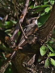 Yellow-billed Cuckoo, Coccyzus americanus (tripp.davenport) Tags: yellowbilledcuckoo coccyzusamericanus birds bentsenriograndestatepark bentsen hidalgocounty tx