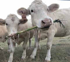 Not sharing! (Wenspics) Tags: chew corn eat calf farm cows cow