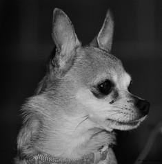 My Best Side (John Neziol) Tags: jrneziolphotography portrait animal animalphotography petphotography brantford petphotographer photography pet dogphotographer dog dognose dogportrait nikon nikoncamera nikondslr nikond80 naturallight blackwhite monochrome closeup cute chihuahua teacupchihuahua