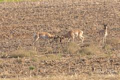 Pair of Pronghorn bucks lock horns