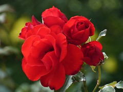 "Red rose ""Piroschka"" (libra1054) Tags: rosaceae teehybridrose rosen rosas roses blumen flores fiori flowers fleurs flora red rojo rosso rot rouge vermelho nature"