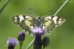 Demi-Deuil Melanargia galathea (Ezzo33) Tags: demideuil melanargia galathea échiquier france gironde nouvelleaquitaine bordeaux ezzo33 nammour ezzat sony rx10m3 parc jardin papillon papillons butterfly butterflies specanimal