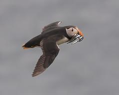 Skomer flying Puffin