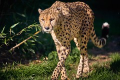 en route pour le casse-croute (rondoudou87) Tags: cheetah guepard guépard felin pentax k1 parc park parcdureynou zoo reynou nature natur wildlife wild smcpda300mmf40edifsdm sauvage regard eyes yeux green grass herbe vert verdure