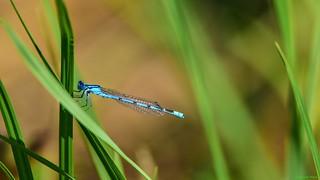 Libellule Bleue - 5676