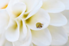 Yellow ladybird and dahlia. (agnieszka.a.morawska) Tags: beyondbokeh bokehlicious bkhq manualfocus manuallens helios helios44m macro dof bokeh insect garden yellow white dahlia dalia biedronka ladybug ladybird