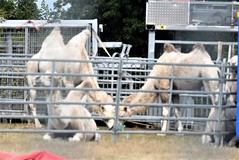 Camels Circus Knie 06.08 (3) (tabbynera) Tags: camels