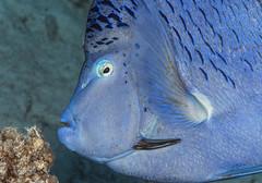 Blue Triggerfish, Pseudobalistes fuscus, Red Sea (Jeremy Smith Photography) Tags: bluetriggerfish pseudobalistesfuscus naturalweapon protection jeremysmithphotographycouk jeremysmith redsea scubadiving