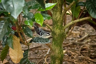 Mniotilta varia (Black-and-white Warbler) female - Parulidae - Finca Lerida, Bajo Mono, Boquete, Chiriqui, Panama-3