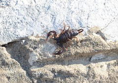 European scorpion - Escorpius sp. (1 of 2 images) (willjatkins) Tags: wildlife nature animal invertebrate arachnids arachnid scorpion scorpions euscorpius wildlifeofeurope europeanwildlife arachnidsofeurope europeanarachnids scorpionsofeurope europeanscorpions croatia croatianwildlife wildlifeofcroatia scorpionsofcroatia croatianscorpions macro macrowildlife closeupwildlife closeup nikond610 nikon sigma105mm