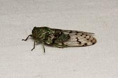 Hemiptera, Cicadidae sp. ♂ (Giant Forest Cicada) - Kibale, Uganda (Nick Dean1) Tags: animalia arthropoda arthropod hexapoda hexapod insect insecta kibalenationalpark kibale uganda hemiptera cicada cicadidae
