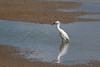 little egret (mal265) Tags: blacktoft sands birds wildlife nature water