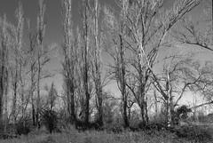 Cerca de Riaza. (papel) (fcuencadiaz) Tags: byw blancoynegro objetivosfijos objetivosmanuales analogica fotografiaargentica film fotografiaquimica pelicula plustek riaza castillaleón segovia ilfordfp4 rangefinder leica m2 telemétricas summicron 35mm