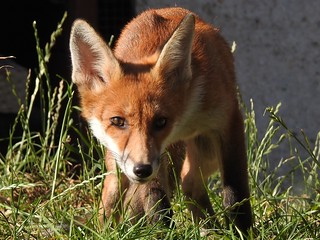 More of the baby fox cub tonight in the sun finally