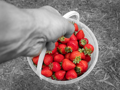 Strawberry fruit picking colour popping. (dgjeffery1969) Tags: strawberries strawberry red bnw blackandwhite punet hand bucket summer fruit farm orchard