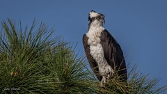 Ft Pickend Osprey (flintframer) Tags: raptors osprey perched florida ft pickens wildlife nature wow usa america dattilo canon eos 7d markii ef600mm 14x