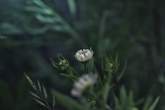 open or close (camerito) Tags: gänseblümchen daisy bokeh camerito nature nikon1 j4 flickr