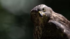 Eye Contact with a Northern Goshawk (Wim Boon (wimzilver)) Tags: wimboon havik bird birds vogel vogelhut nederland netherlands natuur nature canoneos5dmarkiii canonef400mmf28lisusm14x kippenvel oogcontact opvakantie