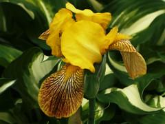 Je pourrais me nommée Bouton D'or (garneau.joel2 Thank you for 2,000 view) Tags: flore jardin flower plante plants fiori