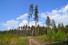 Mast pines and cumulus (МирославСтаменов) Tags: russia togliatti path felling pine forest edge cumulus tree
