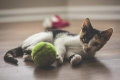 IMG_4031 (pungpungfish) Tags: adorable cute sock wine red canon 50mm photography portrait animalphotography portait kitten calico calicocat animal pet cat sport