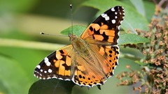 Painted Lady (doranstacey) Tags: nature wildlife insects butterfly paintedlady painted lady macro tamron 150600mm nikon d5300
