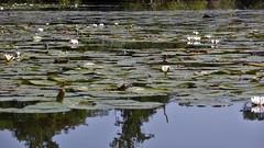 White lilies, Alde Feanen, Eernewoude, Fryslan (Alta alatis patent) Tags: aldefeanen eernewoude lily white floationg leaves