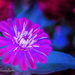 Blue and Pink thumbnail