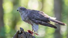 Northern Goshawk (adult) (Wim Boon Fotografie) Tags: wimboon bird havik canonef400mmf28lisusm14x natuur nature nederland netherlands duif vogelhut wood bos northerngoshawk